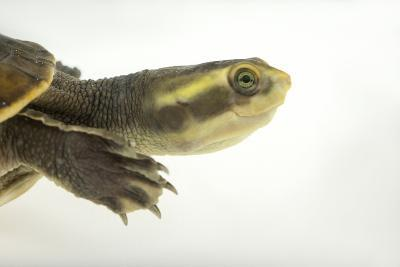 Yellow-Faced Turtle, Emydura Tanybaraga-Joel Sartore-Photographic Print