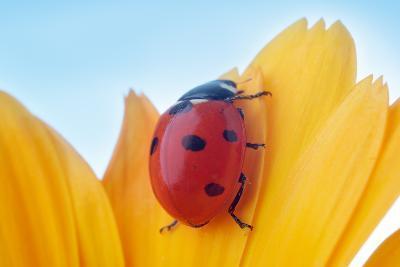 Yellow Flower Petal with Ladybug under Blue Sky-Anatoly Tiplyashin-Photographic Print