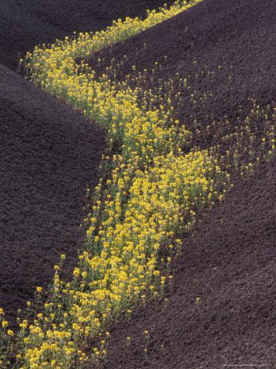 Yellow Flowers Follow Streambed in Painted Hills National Monument, Oregon, USA-Darrell Gulin-Photographic Print