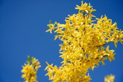 Yellow Flowers of Forsythia against the Blue Sky- irishasel-Photographic Print