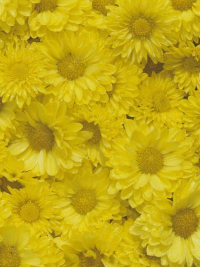 Yellow Garden Chrysanthemums-Adam Jones-Photographic Print