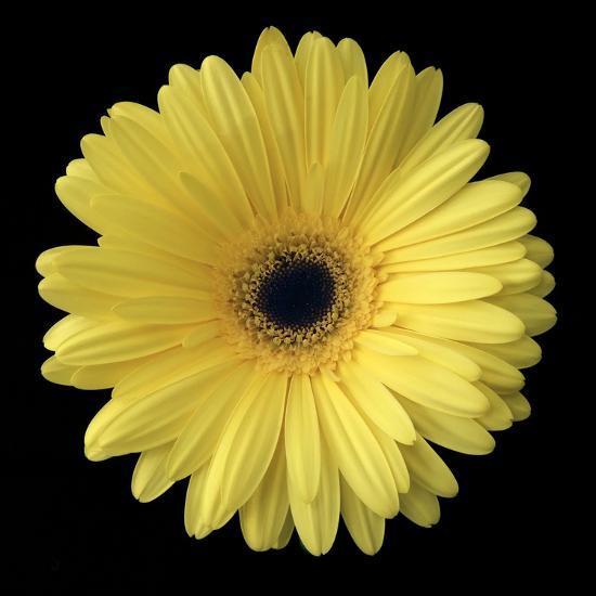 Yellow Gerbera Daisy-Jim Christensen-Photographic Print