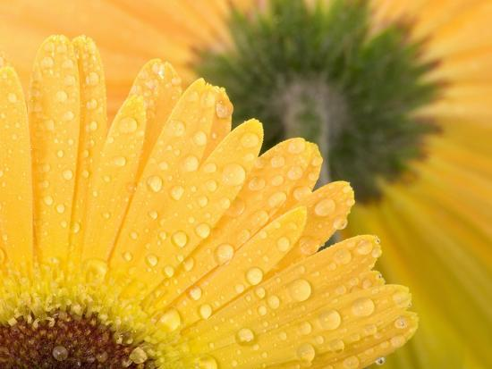 Yellow Gerbera with Drops of Water-Chris Sch?fer-Photographic Print