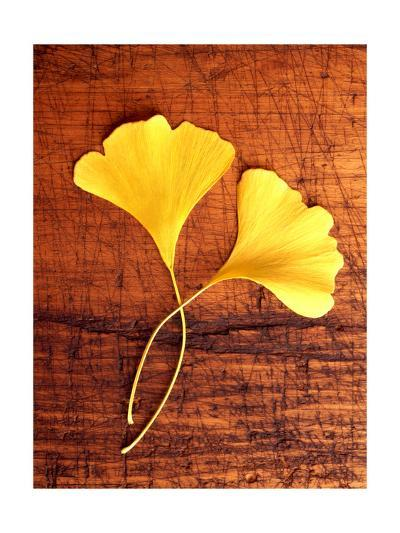 Yellow Ginkgo Leaves--Photo