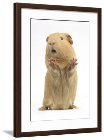Yellow Guinea Pig Standing Up And Squeaking, Against White Background-Mark Taylor-Framed Photographic Print