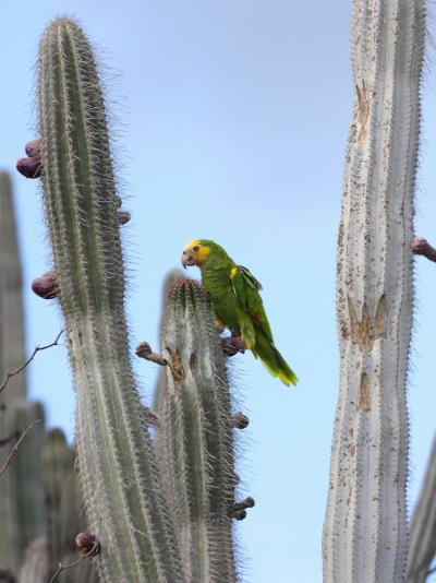 Yellow-Headed Amazon Parrot, Amazona Oratrix, Eating Cactus Pears-George Grall-Photographic Print