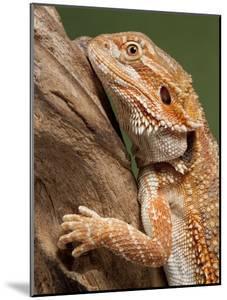 Yellow-Headed Bearded Dragon