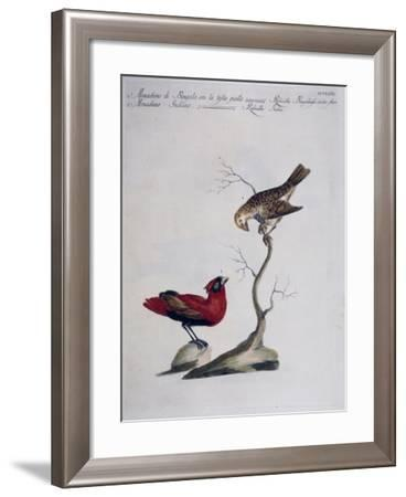 Yellow-Headed Bengal Rosefinch (Rubicilla Bengalensis Vertice Flavo) and Indian Rosefinch (Rubicill--Framed Giclee Print