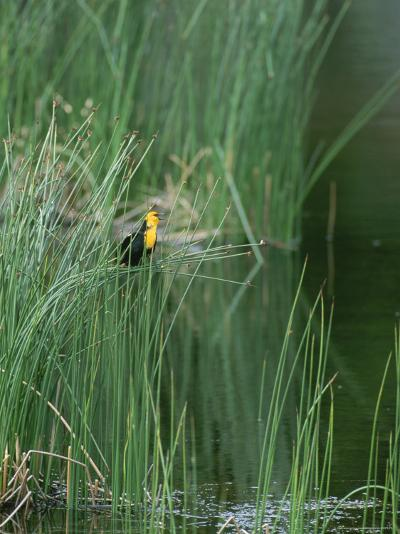 Yellow Headed Blackbird on Grasses-Norbert Rosing-Photographic Print