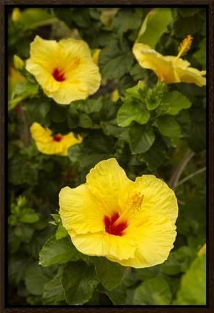 Yellow Hibiscus Hawaii State Flower Kailua Kona Big Island Hawaii Usa Photographic Print Douglas Peebles Art Com