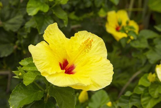 Yellow Hibiscus Hawaii State Flower Kailua Kona Big Island