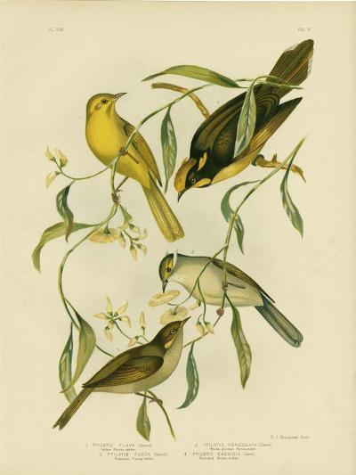 Yellow Honeyeater, 1891-Gracius Broinowski-Giclee Print