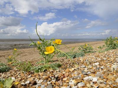 Yellow Horned Poppy Growing on Coastal Shingle Ridge, Norfolk, UK-Gary Smith-Photographic Print