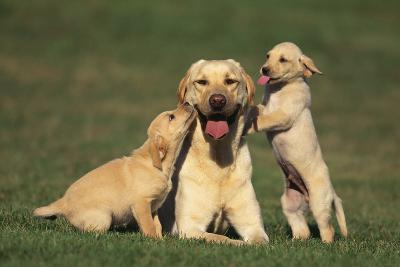 Yellow Lab Mother and Puppies-DLILLC-Photographic Print