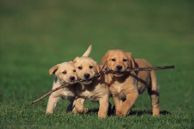 Yellow Lab Puppies Playing with Stick-DLILLC-Photographic Print
