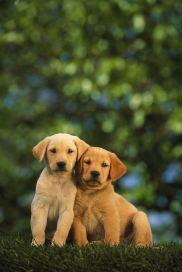 Yellow Lab Puppies Photographic Print By Dlillc Artcom