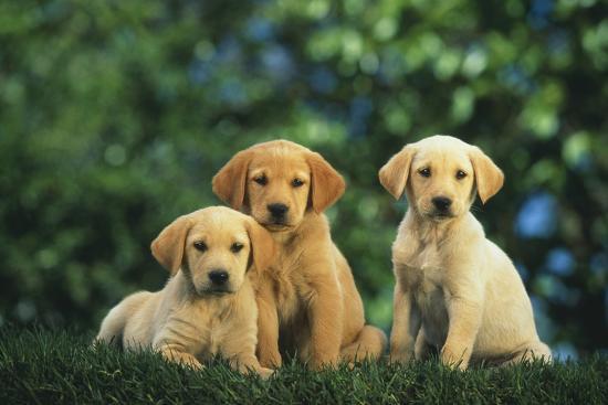 Yellow Lab Puppies-DLILLC-Photographic Print