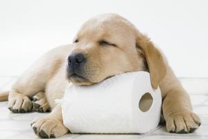 Yellow Labrador Puppy Asleep on Toilet Roll, 9 Weeks