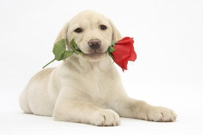 Yellow Labrador Retriever Bitch Puppy, 10 Weeks, Holding a Red Rose-Mark Taylor-Photographic Print
