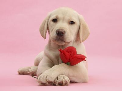 Yellow Labrador Retriever Bitch Puppy, 10 Weeks, with a Red Rose-Mark Taylor-Photographic Print