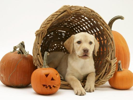 Yellow Labrador Retriever Pup Lying in Wicker Basket and Pumpkins at Halloween-Jane Burton-Photographic Print