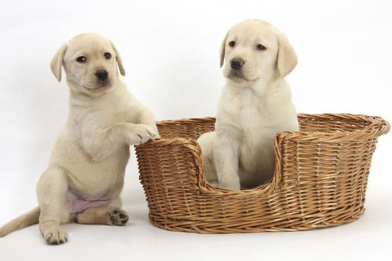 Yellow Labrador Retriever Puppies, 7 Weeks, in a Wicker Dog Basket-Mark Taylor-Photographic Print