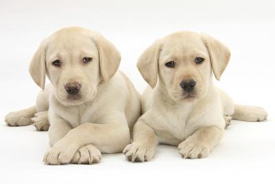 Yellow Labrador Retriever Puppies, 9 Weeks-Mark Taylor-Photographic Print