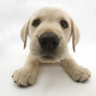 Yellow Labrador Retriever Puppy, 8 Weeks Old, Lying with Head Up-Mark Taylor-Photographic Print