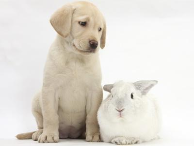 Yellow Labrador Retriever Puppy, 8 Weeks, with White Rabbit-Mark Taylor-Photographic Print