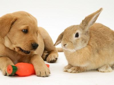 https://imgc.artprintimages.com/img/print/yellow-labrador-retriever-puppy-with-squeaky-toy-carrot-and-young-sandy-lop-rabbit_u-l-q10o3ut0.jpg?p=0