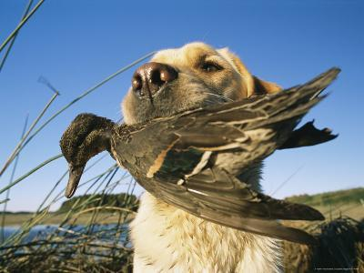 Yellow Labrador Retrieves a Duck From the Back River-Heather Perry-Photographic Print