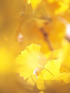 Yellow Leaves, Autumn, Backlit