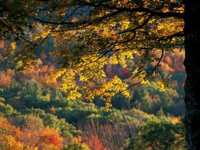 Yellow Leaves of a Sugar Maple, Green Mountains, Vermont, USA-Jerry & Marcy Monkman-Photographic Print