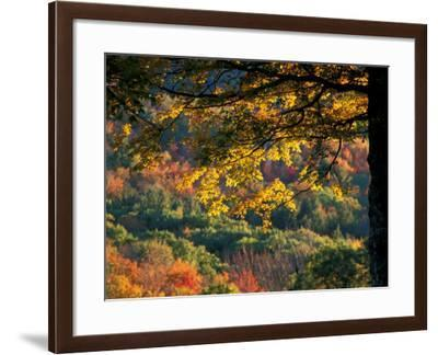 Yellow Leaves of a Sugar Maple, Green Mountains, Vermont, USA-Jerry & Marcy Monkman-Framed Photographic Print