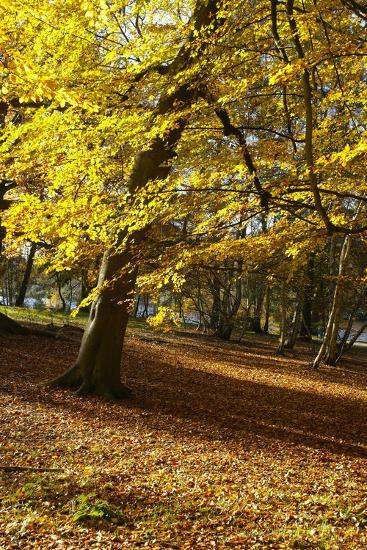 Yellow Leaves on Trees in Forest-Design Pics Inc-Photographic Print