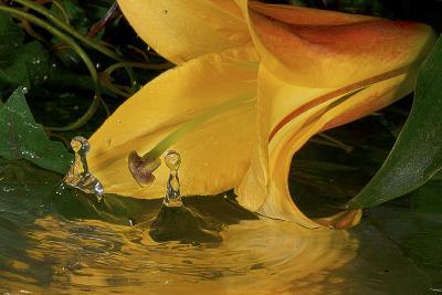 Yellow Lily-Gordon Semmens-Photographic Print