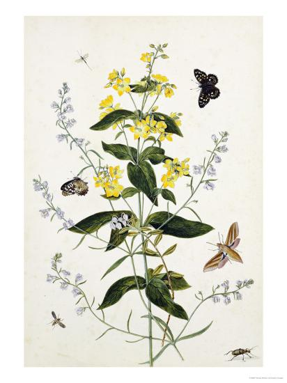 Yellow Loosestrife and Other Wild Flowers-Thomas Robins Jr-Giclee Print