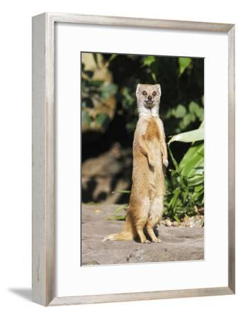 Yellow Mongoose Standing Alert on Back Legs