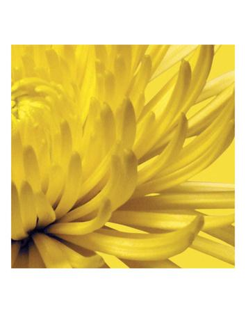 Yellow Mum 2-Jenny Kraft-Art Print