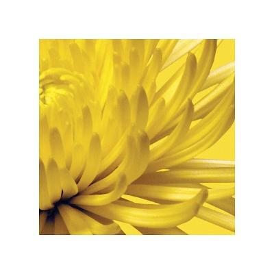 Yellow Mum II-Jenny Kraft-Giclee Print