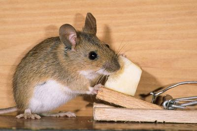 Yellow-Necked Mouse at Mousetrap--Photographic Print