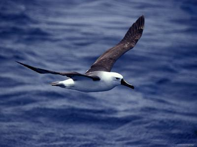 Yellow Nosed Albatross in Flight Gliding over the Ocean Surface, Australia-Jason Edwards-Photographic Print
