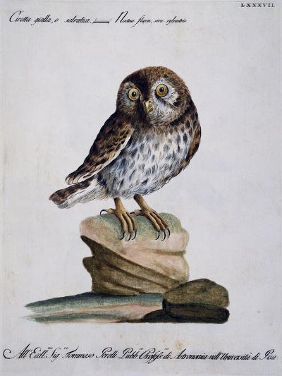 Yellow Owl, 19th Century--Giclee Print