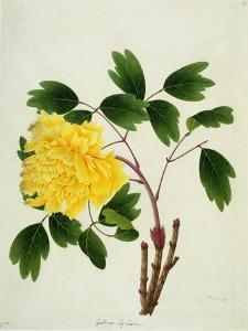 Yellow Peony, c.1800-1840