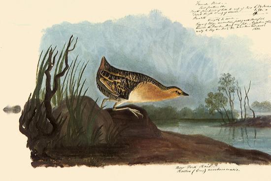Yellow Rail-John James Audubon-Giclee Print