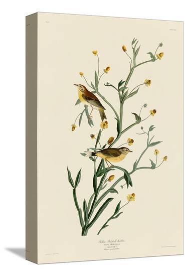 Yellow Red-Poll Warbler-John James Audubon-Stretched Canvas Print