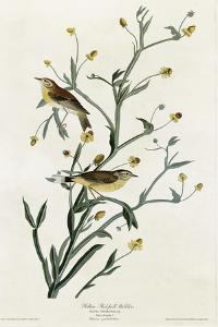 Yellow Red Poll Warbler