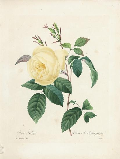 Yellow Rosa Indica-Pierre-Joseph Redout?-Giclee Print