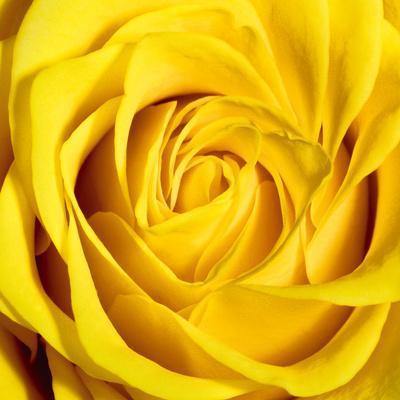 https://imgc.artprintimages.com/img/print/yellow-rose_u-l-f5jqpr0.jpg?p=0