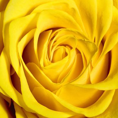 https://imgc.artprintimages.com/img/print/yellow-rose_u-l-f5jr9o0.jpg?p=0